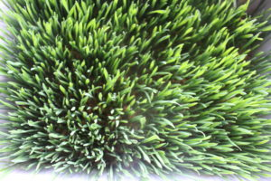 Weizengras auf Erde angebaut