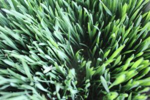 Weizengras verzehrfertig
